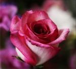 pink-rose-14798