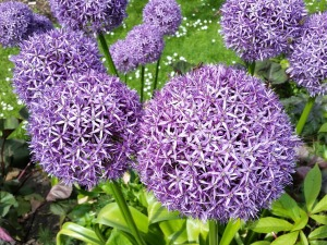 purple-allium-806371_1920