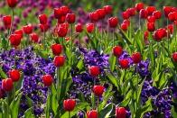 tulips-757144_1920
